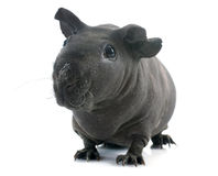 Hairless Guinea Pig Stock Photo