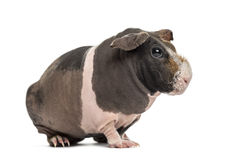 Hairless guinea pig , isolated Royalty Free Stock Photography
