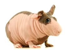 Hairless Guinea Pig isolated on white Royalty Free Stock Image
