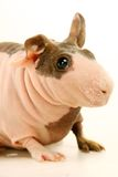 Hairless Guinea Pig isolated on white Royalty Free Stock Images