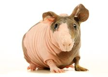 Hairless Guinea Pig isolated on white Stock Photo