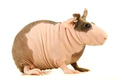 Hairless Guinea Pig isolated on white Royalty Free Stock Photos