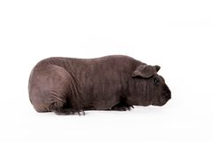 Hairless Guinea Pig isolated on white Stock Image