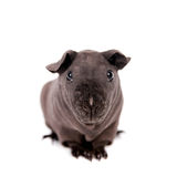 Hairless Guinea Pig isolated on white Stock Images