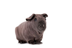 Hairless Guinea Pig isolated on white Royalty Free Stock Photography