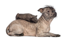 Hairless guinea pig lying on the back of a Hairless Mixed-breed dog, mix between a French bulldog and a Chinese crested dog, lying. In front of white background stock photo