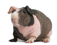Hairless Guinea Pig standing Stock Images
