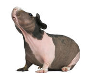 Hairless Guinea Pig standing Royalty Free Stock Images