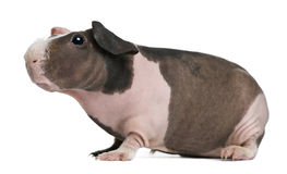 Hairless Guinea Pig standing Stock Photos