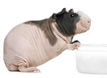 Hairless Guinea Pig standing Royalty Free Stock Photo