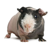 Hairless Guinea Pig standing Royalty Free Stock Photos