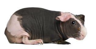 Hairless Guinea Pig standing Stock Image