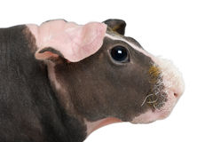 Hairless Guinea Pig standing Royalty Free Stock Photography