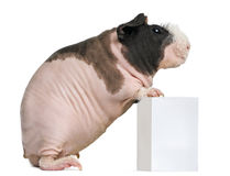 Hairless Guinea Pig standing Stock Photo