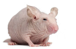 Hairless House mouse, Mus musculus royalty free stock photo