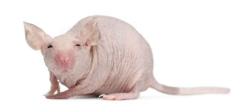 Hairless House mouse, Mus musculus stock images