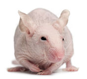 Hairless House mouse, Mus musculus stock photo