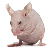Hairless House mouse, Mus musculus royalty free stock photos