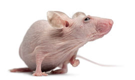 Hairless House mouse, Mus musculus Stock Photos