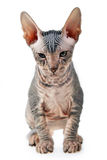 Hairless kitten Stock Image