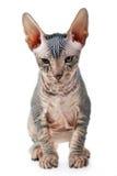 Hairless kitten Stock Image