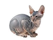 Hairless kitten Royalty Free Stock Image