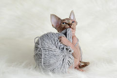 Hairless little kitten plays with a yarn Stock Photography