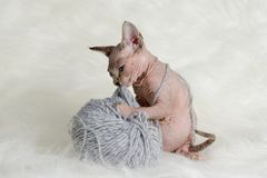 Hairless little kitten plays with a yarn Stock Images