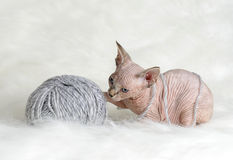Hairless little kitten plays with a yarn Stock Image