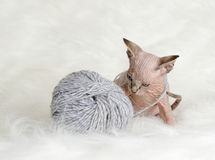 Hairless little kitten plays with a yarn Royalty Free Stock Images