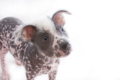 Hairless mexican dog 4. Hairless mexican dog cropped above legs stock image