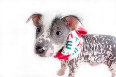 Hairless mexican dog 5. Mexican hairless dog with scarf around neck and distorted face stock photography