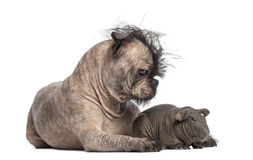 Hairless Mixed-breed dog, mix between a French bulldog and a Chinese crested dog, lying with a hairless guinea pig. And looking at it in front of white Stock Photo