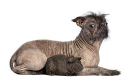 Hairless Mixed-breed dog, mix between a French bulldog and a Chinese crested dog, lying with a hairless guinea pig. In front of white background Stock Photo