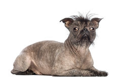 Hairless Mixed-breed dog, mix between a French bulldog and a Chinese crested dog, lying and looking at the camera. In front of white background royalty free stock images