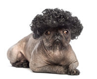 Hairless Mixed-breed dog, mix between a French bulldog and a Chinese crested dog, lying, looking at the camera. And wearing a black curly wig in front of white stock photo