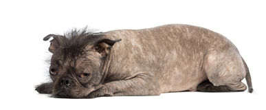 Hairless Mixed-breed dog, mix between a French bulldog and a Chinese crested dog, lying and looks sad. In front of white background Royalty Free Stock Image