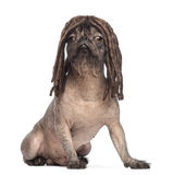 Hairless Mixed-breed dog, mix between a French bulldog and a Chinese crested dog, sitting and wearing a dreadlocks wig. In front of white background Stock Photo