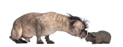 Hairless Mixed-breed dog, mix between a French bulldog and a Chinese crested dog, sniffing a hairless guinea pig Royalty Free Stock Images
