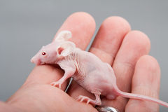 Hairless mouse Royalty Free Stock Photos
