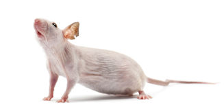 Hairless mouse, Mus musculus Royalty Free Stock Image