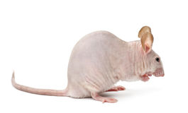 Hairless mouse, Mus musculus Stock Photos