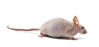 Hairless mouse, Mus musculus stock photo