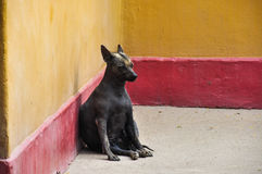 Hairless Peru Dog (Endemic), Huaca de la Luna, Peru.  royalty free stock images