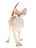 Hairless Peterbald standing on white background Stock Images