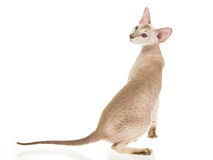 Hairless Peterbald on white background Royalty Free Stock Photo