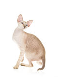 Hairless Peterbald on white background Royalty Free Stock Photos