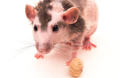 Hairless rat Stock Photography