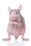 Hairless rat on a white background Stock Photos