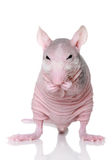 Hairless rat on a white background Stock Image
